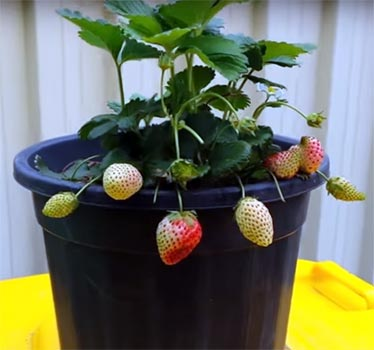 a strawberry tree grown in a black container